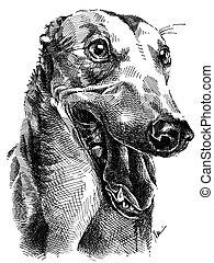 greyhound - perokresba