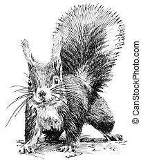 squirrel - perokresba