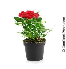 Red Rose in the flower pot isolated on white background