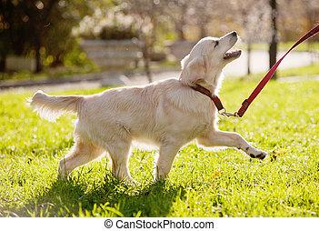 golden retriever puppy runs