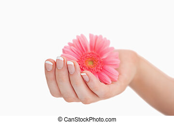 French manicured hand holding flower - Close-up of french...
