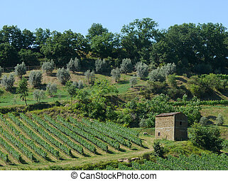 Vineyard and olive grove in Tuscany, Italy
