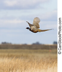 Flying Pheasant - Flying Rooster Pheasant over the prairie