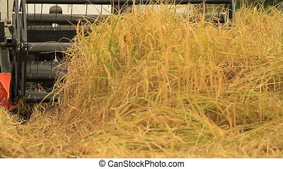 Rice farm - The harvesting of the paddy fields with car