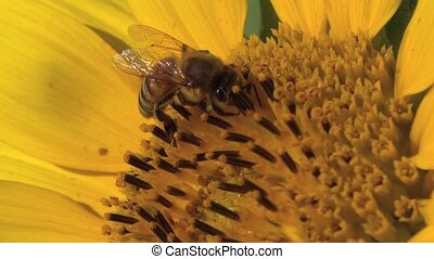 Honey bee working on the sunflower