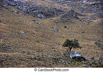 Lone tree near the trail to Pisco base camp, Andes, Peru