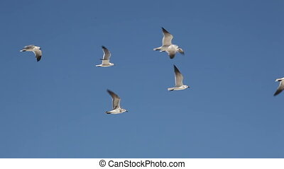 Sea-gulls fly to the sky. - Sea-gulls (Larus marinus) fly to...