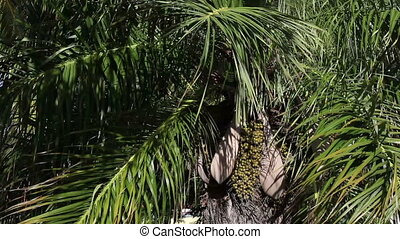 Date palm-tree with fruit. The big plan.