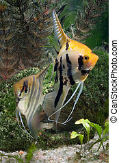 Two Angelfish in a tropical fish tank