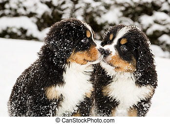 Bernese mountain dog puppets sniff each others - Snowy...