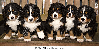 Bernese mountain dog puppets are finaly home - All bernese...