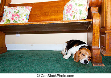 Tired Old Dog - A beagle dog is very tired and lays under a...