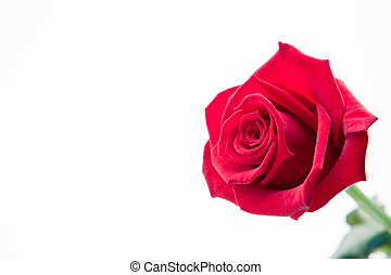 Blooming pink rose on white background