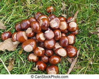 chestnut horse conker - horse chestnut buckeye conker...