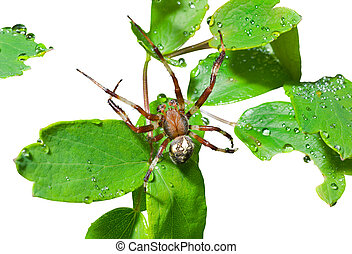 Spider on leaves 1 - A close up of the spider on leaves with...