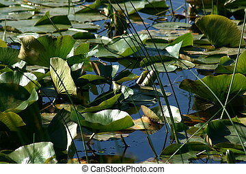 Lily Pond - Lily pond at Long Point conservation area,...