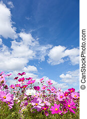 Cosmos flower and the sky - This is a picture of the cosmos...