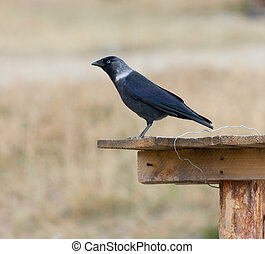 Jackdaw perching on a tree trunk