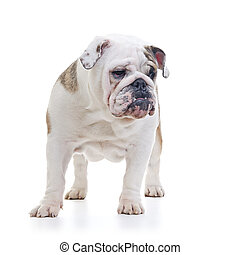 english bulldog - English Bulldog standing and looking off...