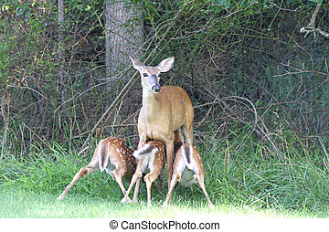 White-tailed Deer With Ba - White-tailed Deer Doe Odocoileus...
