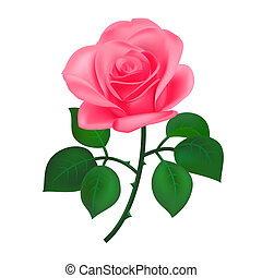Pink rose, isolated on white
