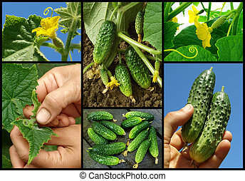 cucumbers set from bud to fruit