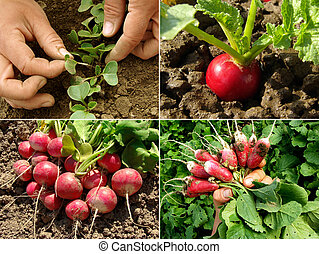 radishes set - organic radishes growing on the vegetable bed...