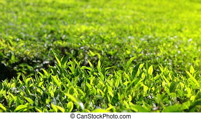 tea plants close-up in Munnar Kerala India