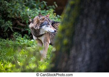 GrayEurasian wolf Canis lupus