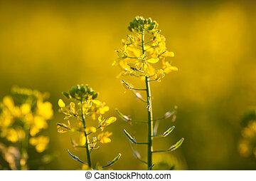 Colza (Brassica rapa)  - Colza (Brassica rapa)