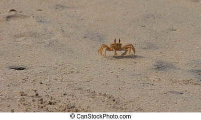 shy crab on the beach