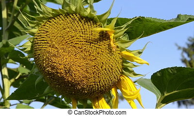 hand ripe sunflower