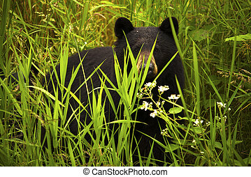 Female Black Bear and Cub - A female black bear mother and...