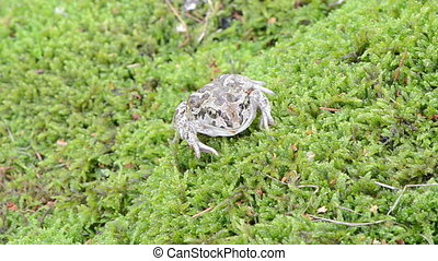 garlic spadefoot toad - macro view of common european garlic...