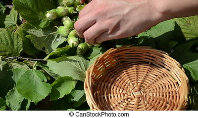 hand collect hazel nut - hand put ripe hazel nutwood nuts to...