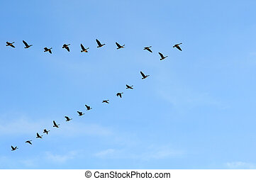 Canadian Geese in V Formation - Canadian geeese flying in V...