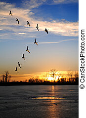 Canadian Geese in V Formation - Canadian geese flying in V...