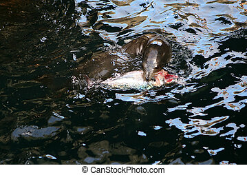 Sea Lion Fishing - This Sea Lion is ripping apart a fish...