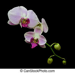 orchid branch isolated on a black background