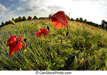 Poppy flower after the rain on a background fields