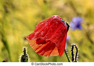 Poppy flower after the rain on a blurred background fields