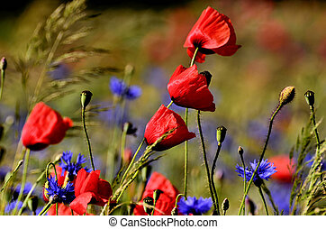 Poppy flower on a blurred background fields with cornflowers...