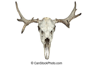 animal skull - Animal skull isolated on white