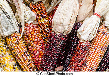 Indian Corn - A Close up of dried Indian Corn