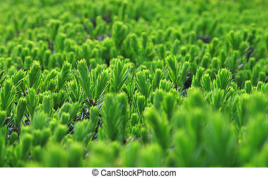 Shrub Close Up - A close up of new spring growth on an...