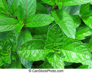 Peppermint and Spearmint Together - A ppermint and a...
