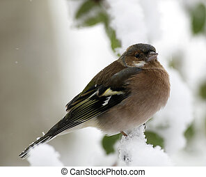 Finch - male finch sitting on a branch during a snowfall
