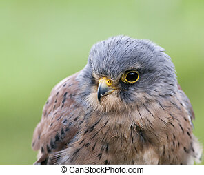 kestrel - close-up of a kestrel