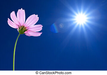 Cosmos flowers on spring background