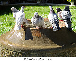 Pigeons bath in the town square fountain in Thessaloniki -...